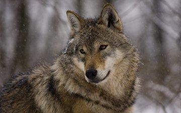 глаза, морда, взгляд, хищник, зверь, волк