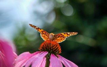 насекомое, цветок, бабочка, размытость, эхинацея