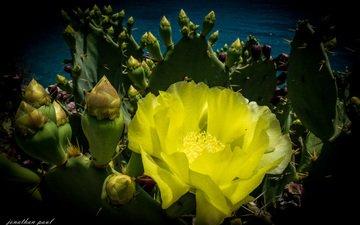 природа, растения, фон, цветок, колючки, кактус