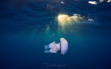 море, океан, медуза, солнечные лучи, подводный мир, davide lopresti