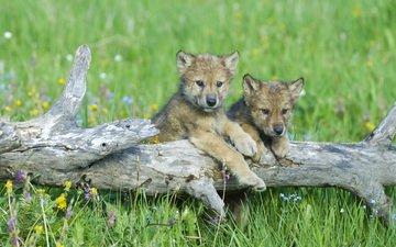 цветы, трава, волки, бревно, детеныши, волчата