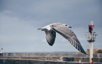 небо, полет, крылья, чайка, птица