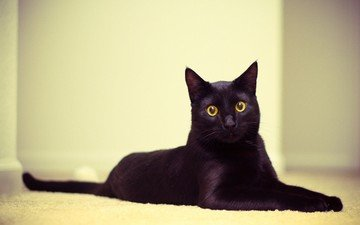 eyes, muzzle, cat, look, black cat