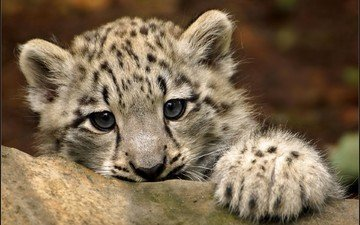 eyes, muzzle, look, snow leopard, irbis, cub