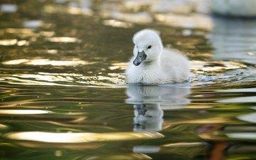 вода, птенец, отражение, птица, малыш, лебедь, лебедёнок