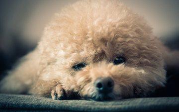 глаза, мордочка, взгляд, собака, щенок, пудель