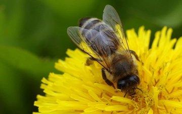 макро, насекомое, цветок, одуванчик, пчела