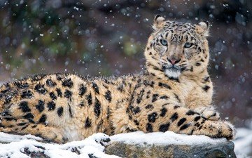 snow, winter, predator, snow leopard, irbis