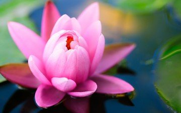 цветок, пруд, кувшинка, нимфея, водяная лилия
