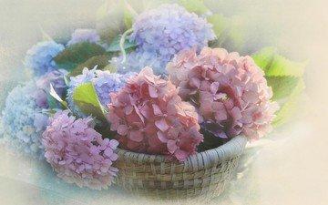 цветы, размытость, соцветия, корзинка, гортензия