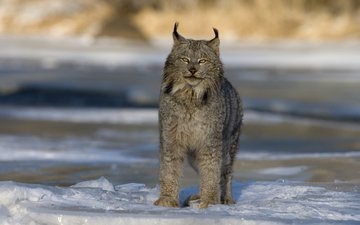 winter, lynx, predator, big cat, canada