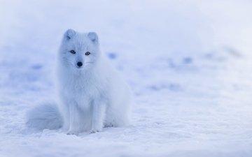 снег, хищник, песец, полярная лисица, арктическая лиса