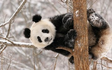 снег, дерево, панда, животное