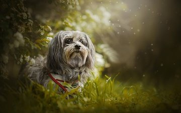 grass, dog, bokeh, the havanese, shanti