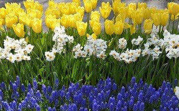 цветы, весна, тюльпаны, нарциссы, гиацинты, весенние цветы
