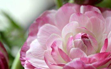 макро, цветок, лепестки, ранункулюс, лютик