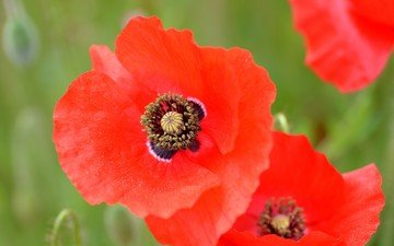 flowers, macro, petals, maki, meadow, red poppy