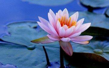вода, листья, цветок, кувшинка, водяная лилия