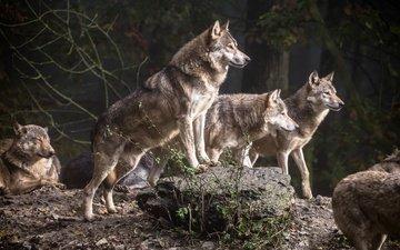 деревья, лес, хищники, волки, стая, стая волков
