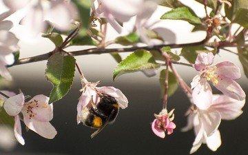 цветы, цветение, насекомое, ветки, весна, яблоня, шмель