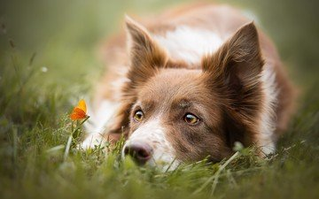 eyes, grass, look, butterfly, dog, the border collie, cecilia zuccherato