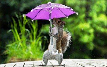фон, юмор, белка, зонтик, лапки