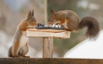 животные, игра, юмор, белки, белочка, шахматы.