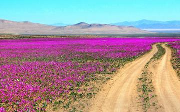 дорога, цветы, горы, пустыня, чили, атакама