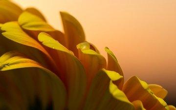 цветок, лепестки, жёлтая, гербера