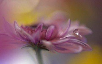 цветок, роса, капля, лепестки, хризантема, juliana nan