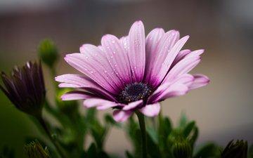 цветок, роса, капли, ромашка, африканская