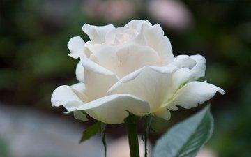 цветок, роза, лепестки, белый, крупный план