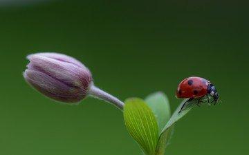 насекомое, фон, цветок, божья коровка, бутон