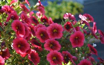 цветы, бордовые, калибрахоа