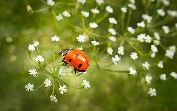 цветы, насекомое, божья коровка, крупный план