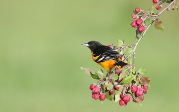 flowers, buds, background, bird, spring, apple, oriole, baltimore colored troupial, simon théberge