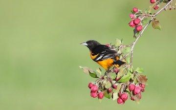 цветы, бутоны, фон, птица, весна, яблоня, иволга, балтиморский цветной трупиал, simon théberge
