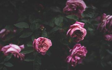 цветы, бутоны, розовый, куст, пионы