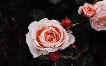 цветы, бутоны, розы, лепестки