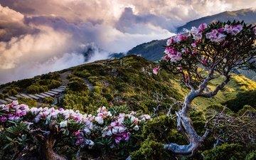 цветы, облака, горы, холмы, цветение, спуск, лестница, кусты, весна, ступени, пасмурно, деревце, рододендроны
