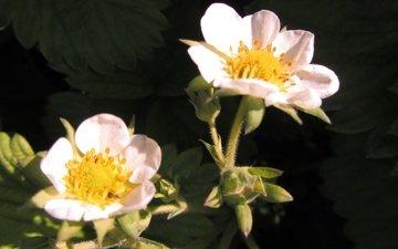 цветы, листья, лепестки, клубника, белые