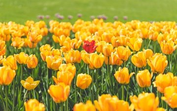 цветы, лепестки, красный, тюльпаны, тюльпан, желтые