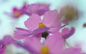 цветы, лепестки, размытость, розовые, космея
