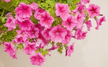 цветы, розовая, петуния
