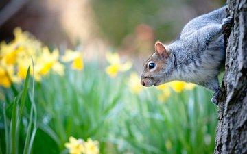цветы, природа, дерево, весна, животное, ствол, белка, нарциссы