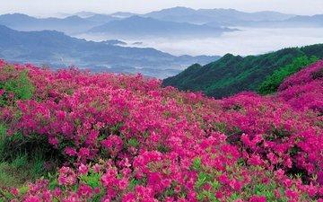 цветы, природа, склон, гора, долина, рододендроны
