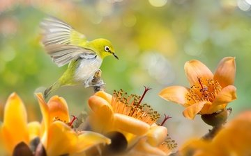 цветы, природа, птица, тропики, белоглазка, silvereye