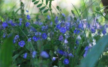 цветы, природа, растения, вероника, kez west