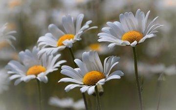 цветы, природа, макро, лето, ромашки