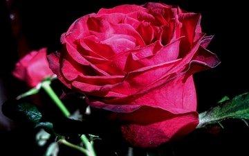 цветы, природа, роза, лепестки, черный фон